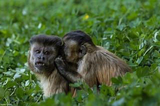 Macaco prego - casal