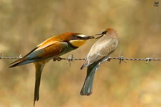Abelharuco, European bee-eater (Merops apiaster)