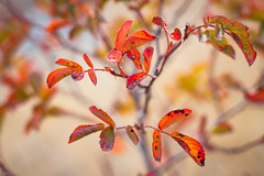 Leaves Shall Fall (mikhailkorzhalov) Tags: canon m42 50mm 5017 f35 bokeh square squarebokeh vintagelenses vintageprimes manual manuallenses manualfocus russianlens russianlenses autumn tree trees day outdoors plant plants leaves orange red twig twigs withered witheredleaves nature naturallight wild zenitarme1 zenitarme15017