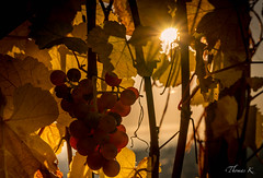 Les dernières grappes de raisins (Ptittomtompics) Tags: leverdesoleil sunrise alsace automne autumn barr fall france grapes grappe nature raisin soleil sun sunlight vigne vignoble vine vineyard