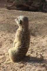 Meerkatze / Taronga Zoo