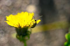 bug in painting. (DonJesseTaylor) Tags: beetle dandelion flower weed yellow bokeh nature nikon d5300 micronikkor 55mmf35 bug oldlens manualfocus manuallens macro vintagelens