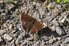 Trauermantel (planetvielfalt) Tags: lepidoptera nymphalidae nymphalinae sachsenanhalt deutschland