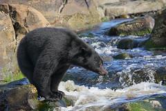 Balancing Act (PamsWildImages) Tags: black bear nature wildlife canada bc britishcolumbia vancouverisland pamswildimages pammullins fishing