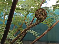 Cyathea cunninghamii (vireyauk) Tags: cyatheacunninghamii cyathea cunninghamii cyatheaceae treefern fern frond crosier gullytreefern slendertreefern arfp trfp vrfp nswrfp qrfp arffern cooltemperatearf gullyarf mixedarf warmtemperatearf subtropicalarf