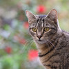 A New Week Again ? (AnyMotion) Tags: mondayface nelli pet cat cats katze katzen animals tiere garden bokeh 2017 anymotion tabby getigert atigrada félin chat gata 7d2 canoneos7dmarkii square 1600x1600