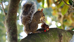 lunch (Dianne M.) Tags: nature outside seeds leaves fur branch florida
