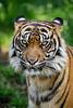 Striped Beauty (Xenedis) Tags: animal australia bigcat cat dubbo newsouthwales nsw pantheratigris pantheratigrissumatrae sumatrantiger tarongawesternplainszoo tiger zoo