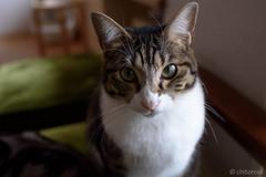 _DSC0658 (catfish.boogie) Tags: nikond750 tamronsp35mmf18divcusd japan hokkaido cat