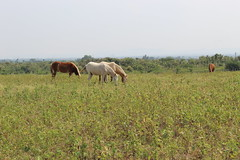 A beautiful day !!! (Anmol:-)) Tags: canonrebelt6 canon1300d canon1855mm wildlife horses nature