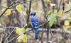 Blue jay ((nature_photonutt) Sue) Tags: bluejay fall autumn ironbridgeontariocanada myyard 10000views