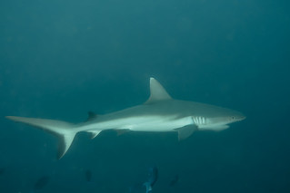 Grey Reef Shark. Squalo Grigio. (Carcharhinus Amblyrhynchos).
