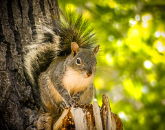 """Cute and Fluffy"" Arizona Gray Squirrel (Cathy Lorraine) Tags: bokeh light squirrel arizonagraysquirrel sedona arizona adorable cute fluffy trees forest canyons mountains animal mammal rodent nature outdoors coth5"