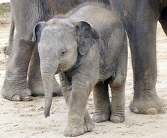 Baby Elephant Zoo Hannover (BrigitteE1) Tags: erlebniszoohannover deutschland de germany elefant elephant elephasmaximus babyelefant babyelephant weis grau animal mammal säugetier specanimal