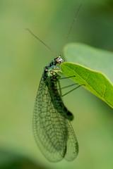 Florfliege (planetvielfalt) Tags: auenwald chrysopidae insecta planipennia netzflügler schkeuditz sachsen deutschland