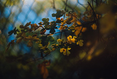 especially in the Autumn IV (culuthilwen) Tags: sonyalpha230 helios44m6 helios44m helios vintagelens autumn fall foliage leaves light blurry bokeh nature m42 58mm f2 vscofilm00 green gold yellow orange sonysti goldenhour dof
