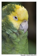 Hey Buddie (wesjr50) Tags: amazon parrot captive wildlife nature sony rx10 iv flash st augustine alligator farm topaz photoshop cc nik
