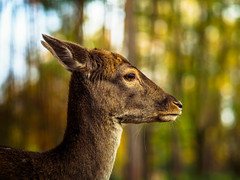 What are u looking for...? (davYd&s4rah) Tags: autumn deer bokeh regensburg höllohe reh dof holiday zoo colors green brown orange em10markii m75mm f18 olympusm75mmf18 olympus sharp eyes
