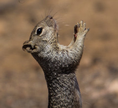 Prayers For America (cindyslater) Tags: rocksquirrel goldenvalleyaz arizona prayersforamerica wildlife cindyslater animal usa america peace