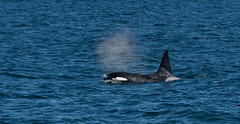 Bow Wave (finor) Tags: sony alpha a6500 ilce6500 sal70400g2 nature wildlife ocean whale orca iceland snaefellsnes
