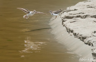 Maçarico-pintado (Actitis macularius) - Spotted Sandpiper