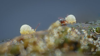 Sminthurides aquaticus (Kugelspringer) und Podura aquatica (Wasserspringschwanz) Collembola