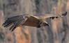 Gyps fulvus (Pasquale Sannino) Tags: gyps fulvus grifone avvoltoio griffon vulture eurasian accipitridae france verdon gorge gole del birds birdwatching