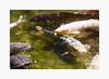 Frenzy (bnishimoto) Tags: fuji fujifilm xpro2 hakonegardens saratoga bayarea photoessay 50230mm classicchrome color koi fish myfujifilm spring