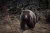 Second Year Cub (wyrickodiak_9) Tags: kodiak alaska brown bear grizzly ursus mammal wildlife island fishing cubs