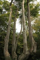 epp3 (Tony Wyatt Photography) Tags: eppingforest epping forest london woods trees beech mushrooms flyagaric alienmushroom puffball corporationoflondon autumn roots treeroots austin austinofengland austincar oldfolks