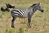 Grant's zebra (Equus quagga boehmi) (José M. F. Almeida) Tags: kenya masai mara wildlife africa 2017 august reserv grants zebra equus quagga boehmi quenia quênia safari