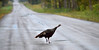 C'mon Girls it's Safe! (Poocher7) Tags: road countryroad thanksgiving fall wildturkey hen female birds largebirds wetroad wet bolsover ontario canada