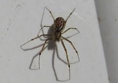 Linyphia maura (Costan E) Tags: araneae linyphiidae linyphia maura