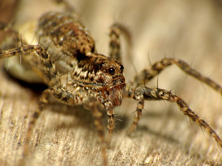 Wolf Spider With Egg Case