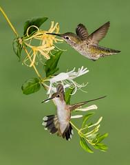 Black-chinned, Anna's Hummingbirds and Honeysuckle (Eric Gofreed) Tags: arizona blackchinnedhummingbird hummingbird mybackyard sedona villageofoakcreek