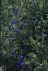 Campanula rotundifolia dark. Heiligenblut 1990 (Mary Gillham Archive Project) Tags: 1990 55321 austria campanularotundifolia heiligenblut planttree