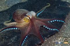 COCONUT OCTOPUS  (body 50mm) (Sonja Ooms) Tags: amphioctopus amphioctopusmarginatus animal cephalopoda divinglembehstraits indonesia lembeh lembehstraits macro marginatus nad nadlembehresort nature straits underwater