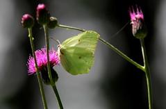 D'estate, in collina (lincerosso) Tags: farfalle butterflies cedronella gonepteryxrhamni estate collina cardi fiori bellezza armonia luce