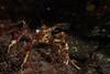 Longhorn Decorator Crab (Chorilia longipes) (jonmcclintock) Tags: underwater sunshinecoast travel britishcolumbia canada adventure scuba diving strongwater