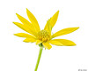 African Daisy (Ken Mickel) Tags: africandaisy colors floral flower flowers plants yellow closeup daisy nature upclose