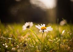 Happy Sunday! (ursulamller900) Tags: pentacon2829 extensiontube 20mm daisy makroring mygarden sparkle gänseblümchen tautropfen morningdew