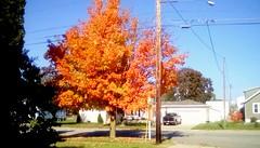 Maple tree in October color! - TMT 365/2 (Maenette1) Tags: maple tree orange autumn october frontyard neighborhood menominee uppermichigan treemendoustuesday flicker365 michiganfavorites
