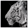Eye of the Tiger (Robert Streithorst) Tags: cincinnatizoo robertstreithorst whitetiger zoosofnorthamerica bigcat