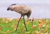Unexpected Visitor (Bryan O'Toole) Tags: sandhillcrane crane wildlife northernontario algoma canada saultstemarie soo nikon nikond810 nikonafs200400mmf4vr worm neighbourhood myhouse