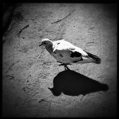 •Dove and its shadow 🐦 (sergiochubby) Tags: squaregraph squaregraphy light bird geometry mobiography beauty minimalism hipstadreamers hipstamaticmagic inexplore onlymobileart onlymobile iphoneonly nostalgia hipsta ukraine mobileart hipstamagic phoneographic hipstsmatic kharkiv visualukraine iphoneography vintage elements artistic landscape melancholy naturelovers photoukraine urban skypainters hipstamatic dramatic outdoor warm cityscape skyline ukrainian urbanexploration cute abstract dove wings monochrome blackandwhite bnw awesomebnw road park minimal streetphoto candidphoto photojournalism adorable shadow lightandshadow nature animal asphalt texture urbanstyle urbanlook