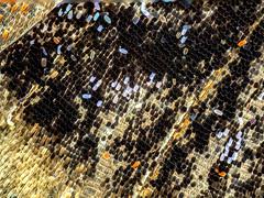 Schmetterlingsflügel Tagpfauenauge (Aglais io) (guenterkurz.de) Tags: schmetterlingsflügel schmetterling makro schuppen