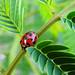 Hot Springs - Hiding Ladybug