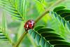 Hot Springs - Hiding Ladybug (Drriss & Marrionn) Tags: garvanwoodlandgardens hotsprings arkansas usa insect insects insecta bug ladybug macro macros plant leaves forest tree
