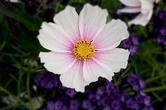 Late Summer Cosmos (Bob.W) Tags: cosmos attinghampark nationaltrust shrewsbury shropshire ngc npc sunrays5