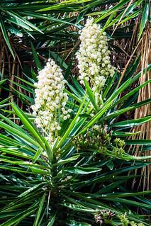 2017-09-19 Botanischer Garten, Puerto de la Cruz (04) - Kerzen-Palmlilie (Yucca gloriosa) - Botanischer Garten (Jardín Botánico de la Orotava) in Puerto de la Cruz auf Teneriffa